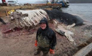 Le conservateur principal du Musée royal de l'Ontario et son équipe découpent la carcasse d'une baleine bleue à Terre-Neuve le 10 mai 2014. (LA PRESSE CANADIENNE/Paul Daly)