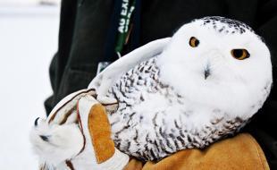 Une jeune femelle harfang des neiges. (AP Photo/The Grand Rapids Press, Andrew Kuhn)