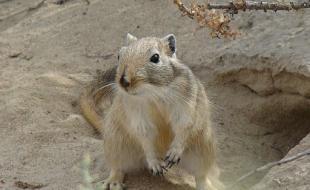 La grande gerbille, ou gerbille géante, est originaire d'Asie centrale. Ce rongeur a peut-être apporté la peste noire en Europe. (Photo avec la permission de Wikimedia Commons.)