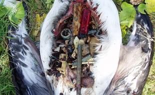 Le cadavre d'un albatros de Laysan juvénile dont le ventre est plein de déchets de plastiques. (Photo avec la permission de Claire Fackler, par le biais de Wikimedia Commons.)